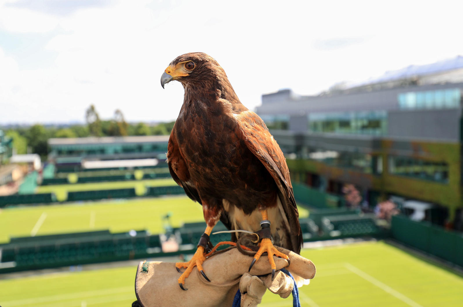 Rufus the hawk at Wimbledon on trainers hand with court in the background.